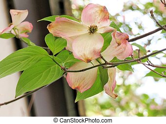 Pink dogwood tree blooming with pink flowers
