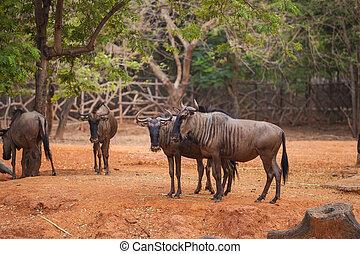 group of Blue Wildebeest (Connochaetes taurinus)