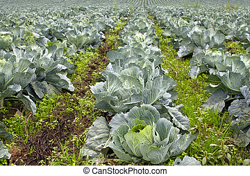 Cabbage Patch in Oregon 2 - Cabbage Patch in Oregon Farmland...