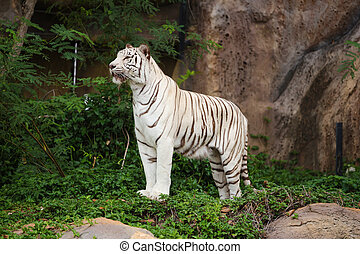 White asian bengal tiger standing - White asian bengal tiger...