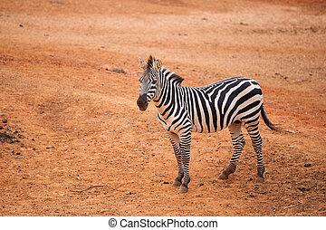 Burchell's Zebra on red dry soil - Burchell's Zebra on the...