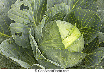 Cabbage Patch in Oregon CloseUp 2 - Cabbage Patch in Oregon...