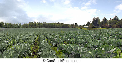 Cabbage Patch in Oregon Panorma
