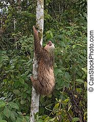 Three-toed sloth at La Fortuna, Costa Rica