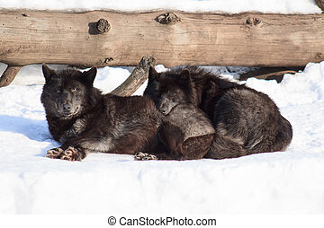 Two black canadian wolves are basking in the sun. - Two...