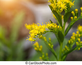 Close up of Solidago canadensis flower.