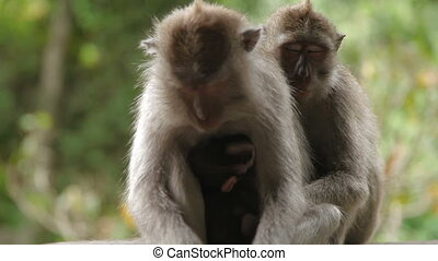 Sleeping monkeys. with cub. Monkey forest in Ubud Bali...