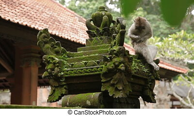 Monkey sitting on statue and searching for insects in it's...
