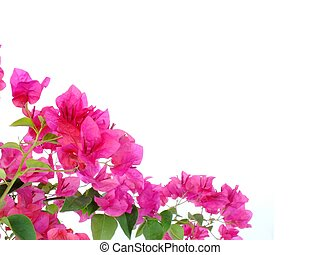bougainvilleas isolated on white background