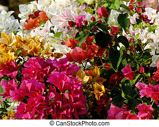 colorful bougainvilleas flowers natural background
