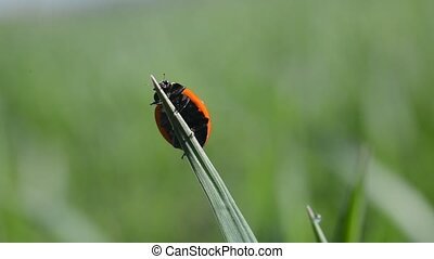 Ladybug on blade of grass close up.