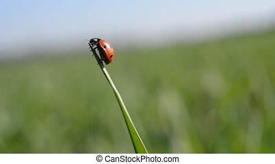Ladybug on blade of grass close up.