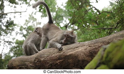 Monkeys on tree searching for insects in fur. Monkey forest...
