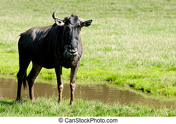 Gnu - Old gnu is standing and looking on green grass