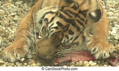 Tiger sumatran eating his lunch, Panthera tigris sumatrae
