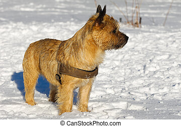Cairn Terrier - A dog is standing in the snow looking. The...