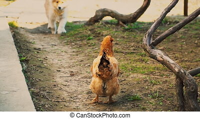 The puppy runs after the chicken trying to catch her
