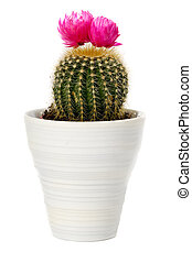 cactus in a pot on white background - Cactus with pink...
