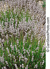 Contrasty image of lavender close-up