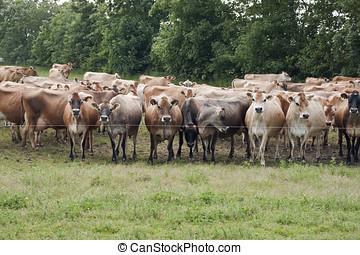Jersey Cows - A herd of jersey cows in a field near Vejen,...