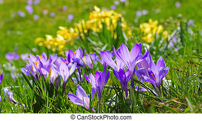 Crocus flowers in Drebach, Saxony