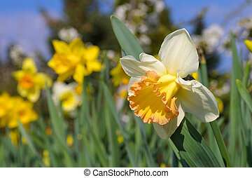 the Daffodil flower is called Salome