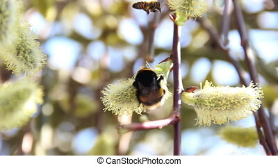 bumble-bee on blossoming willow - close-up of bumble-bee on...