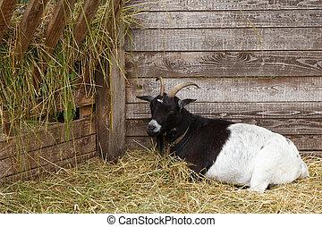 Lying domestic goat on the goat farm.