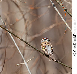 Chipping Sparrow (Spizella passerina) perched on a branch in...