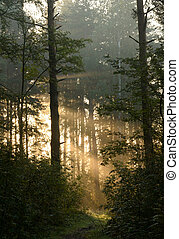 Silhouette of a pine forest at dawn. - Silhouette of a pine...