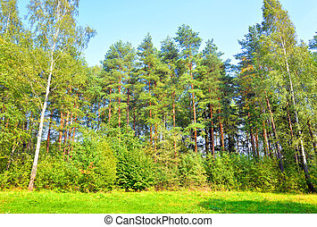 Pine forest at summer. - Pine forest in summer in the...