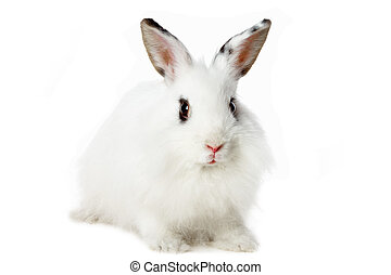 Fluffy mammal - Image of fluffy white rabbit isolated over...