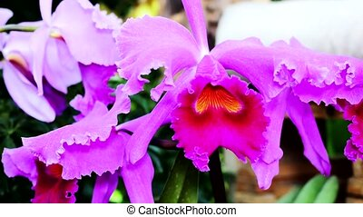 A large orchid flower. Red and pink, burgundy. Using the...