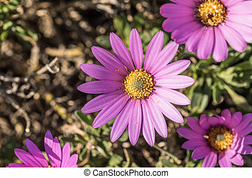 Osteospermum, beautiful pink flower for the daisy bushes...