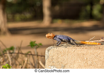 Curious colorful lizard sitting on stone, Windhoek, Namibia