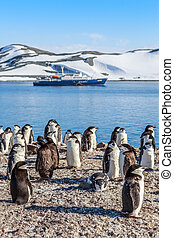 Chinstrap penguins crowd standing on the rocks and touristic...