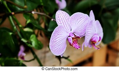 Light pink orchids in the garden.