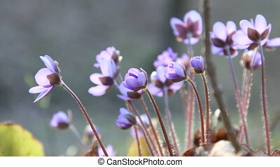blue wild flowers in spring forest