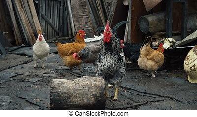 chicken walking around the farm