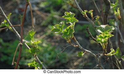 new green leaves on currants bush