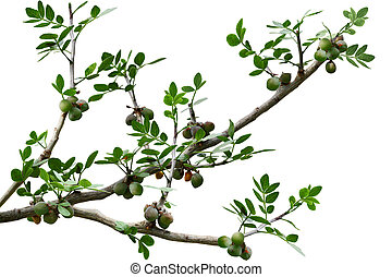 Pinnately Compound Leaves - Branch of pinnately compound...