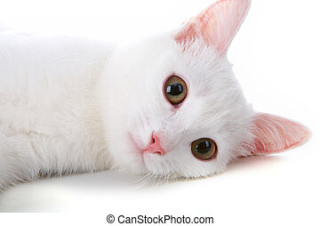 White pet - Image of playful white cat lying in studio over...