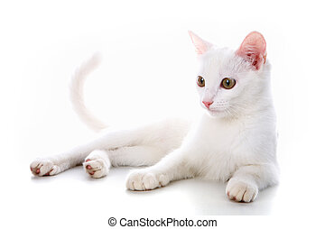 White kitten - Image of calm white cat lying in studio over...