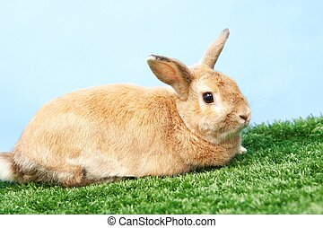 Fluffy rabbit - Image of cute rabbit on green grass against...