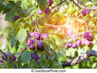 branches of a plum tree with ripe fruits