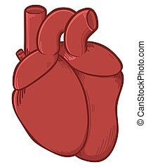 Human heart on a white background