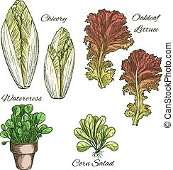 Salads and leafy vegetables vector icons set - Lettuce...