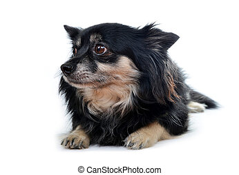 Small dog Chihuahua isolated on white background.