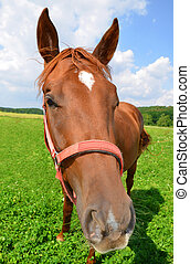 Brown horse - Portrait of a brown horse.
