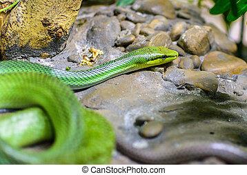 Red-tailed Green Ratsnake (Gonyosoma oxycephalum) Selective...